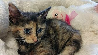 Domestic Shorthair Kitten for adoption in MADISON, Ohio - Jackie