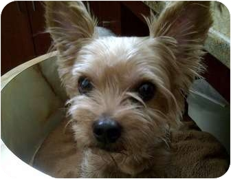 Yorkie, Yorkshire Terrier Mix Dog for adoption in Beechgrove, Tennessee - Missy Mae