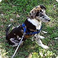 Adopt A Pet :: Bleu - Conway, AR