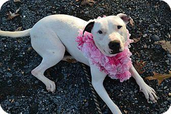 Pit Bull Terrier Mix Dog for adoption in Asheboro, North Carolina - Marisol