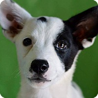 Adopt A Pet :: Cowgirl - Hagerstown, MD