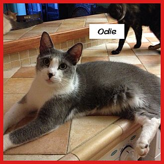 Domestic Shorthair Cat for adoption in Miami, Florida - Odie