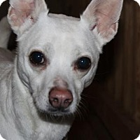 Chihuahua Mix Dog for adoption in Gilbertsville, Pennsylvania - Q-Tip