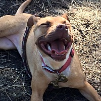 Pit Bull Terrier Mix Dog for adoption in Westminster, Maryland - Sienna