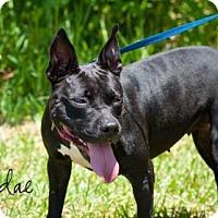 Adopt A Pet :: Sundae - Middleburg, FL