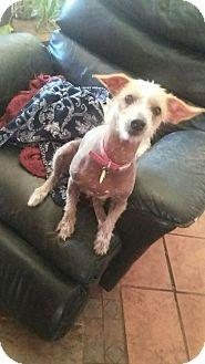 Chinese Crested Mix Dog for adoption in Tucson, Arizona - Gringa