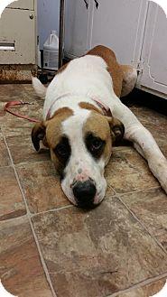 Great Pyrenees/American Pit Bull Terrier Mix Dog for adoption in Darlington, South Carolina - Goose aka Apollo