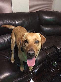 Labrador Retriever Mix Dog for adoption in Plano, Texas - Tex