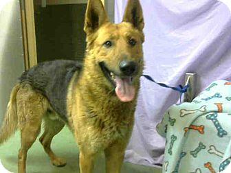 German Shepherd Dog Mix Dog for adoption in San Bernardino, California - URGENT on 3/7 @DEVORE