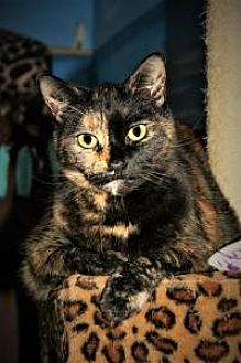 Domestic Shorthair Cat for adoption in Manchester, Connecticut - Charlotte