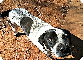 Pointer/Labrador Retriever Mix Dog for adoption in Spartanburg, South Carolina - Alonzo