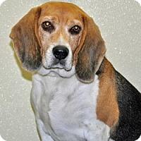 Adopt A Pet :: Linus - Port Washington, NY
