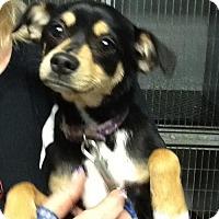 Adopt A Pet :: Bootsie - Phoenix, AZ