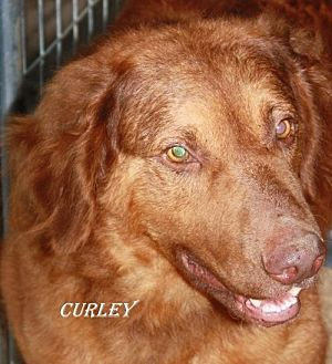 Labrador Retriever Mix Dog for adoption in Lone Oak, Texas - Curley