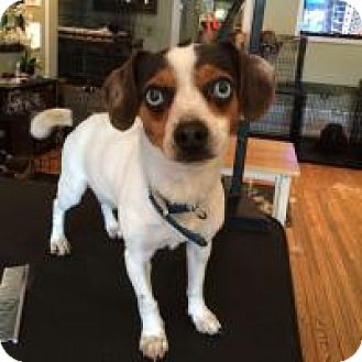 Rat Terrier/Chihuahua Mix Dog for adoption in Ardsley, New York - Buddy