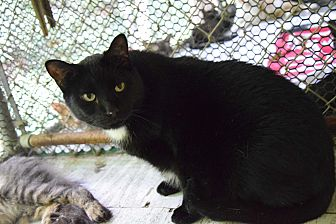 Domestic Shorthair Cat for adoption in Pottsville, Pennsylvania - Leo