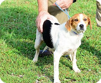 Beagle Mix Dog for adoption in Kendall, New York - Trish