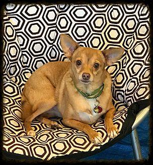 Chihuahua Dog for adoption in Los Alamitos, California - Nucky AKA Felipe