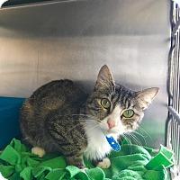 Domestic Shorthair Cat for adoption in Visalia, California - Zelda