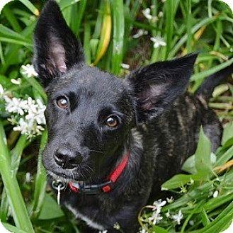 Dachshund Mix Puppy for adoption in Athens, Georgia - Mia