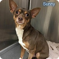 Adopt A Pet :: Sunny - New York, NY