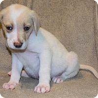 Border Collie Mix Puppy for adoption in Bellevue, Nebraska - Carole
