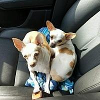 Adopt A Pet :: delilah - Evans, GA