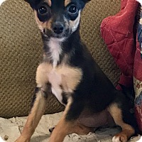 Chihuahua Mix Puppy for adoption in ST LOUIS, Missouri - Peek-a-Boo