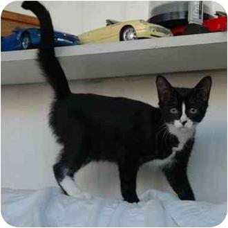 Domestic Shorthair Kitten for adoption in Oakland Park, Florida - Sassy