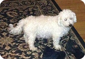 Bichon Frise Dog for adoption in Hilliard, Ohio - Winter
