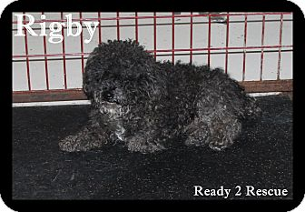 Miniature Poodle/Shih Tzu Mix Dog for adoption in Rockwall, Texas - Rigby
