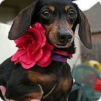 Adopt A Pet :: Cindy - Baton Rouge, LA
