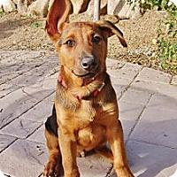 Adopt A Pet :: Apollo - Gilbert, AZ