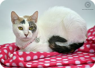 Domestic Shorthair Cat for adoption in St. Louis, Missouri - Calypso