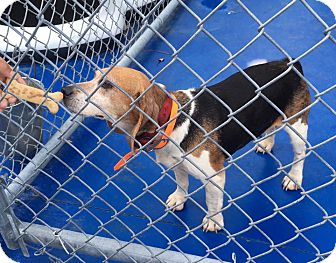 Beagle Dog for adoption in Providence Forge, Virginia - Angel