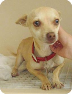 Chihuahua Mix Dog for adoption in Heber City, Utah - Baxter