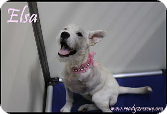 Westie, West Highland White Terrier/Petit Basset Griffon Vendeen Mix Puppy for adoption in Rockwall, Texas - Elsa