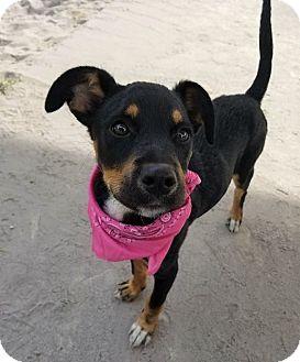 Labrador Retriever Mix Puppy for adoption in Umatilla, Florida - Gia