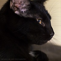 Adopt A Pet :: DONNER - Houston, TX