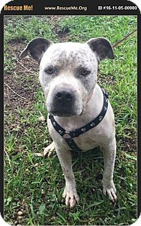 American Bulldog/Pointer Mix Dog for adoption in Homestead, Florida - Abel