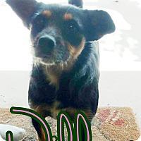 Adopt A Pet :: Willow - Odessa, TX