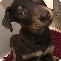 Adopt A Pet :: Jax - Tucson, AZ