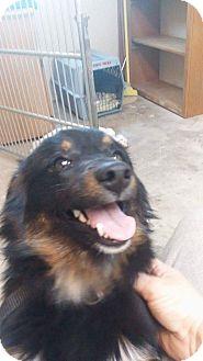Pomeranian/Spaniel (Unknown Type) Mix Dog for adoption in Thousand Oaks, California - Ozzy