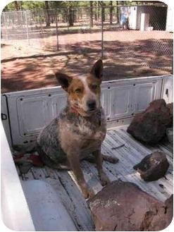 Australian Cattle Dog Mix Dog for adoption in Scottsdale, Arizona - Buddy (Flagstaff)