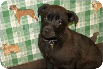 Labrador Retriever Mix Puppy for adoption in Racine, Wisconsin - Ketty