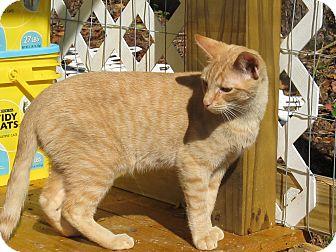 Domestic Shorthair Cat for adoption in Bedford, Virginia - Emmanuel
