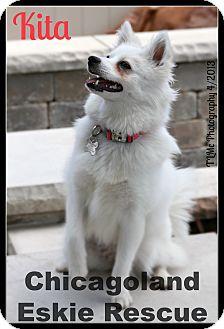 American Eskimo Dog Puppy for adoption in Elmhurst, Illinois - Kita