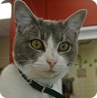 Domestic Shorthair Cat for adoption in white settlment, Texas - Bella