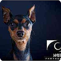 Adopt A Pet :: Sophia - Nashville, TN