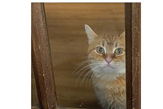 Domestic Mediumhair Cat for adoption in Covington, Kentucky - Sandra Dee